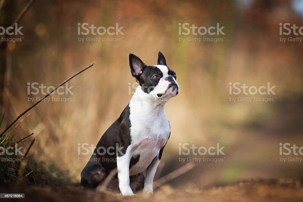 Retrato de estar hermosa boston terrier perro cachorro fondo de primavera - foto de stock