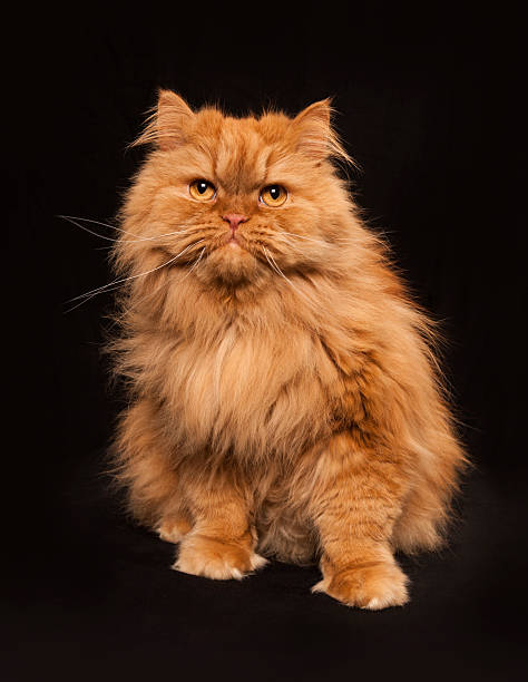 Portrait of sitting orange persian cat picture id476383685?b=1&k=6&m=476383685&s=612x612&w=0&h=8lotsvpvjyszrpva7fjpl4praoeothwlxkomkfnlv i=
