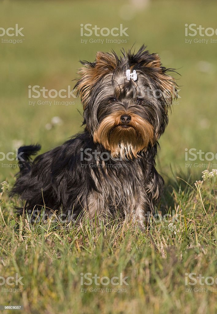 Portrait of sitting yorkshire terrier royalty-free stock photo