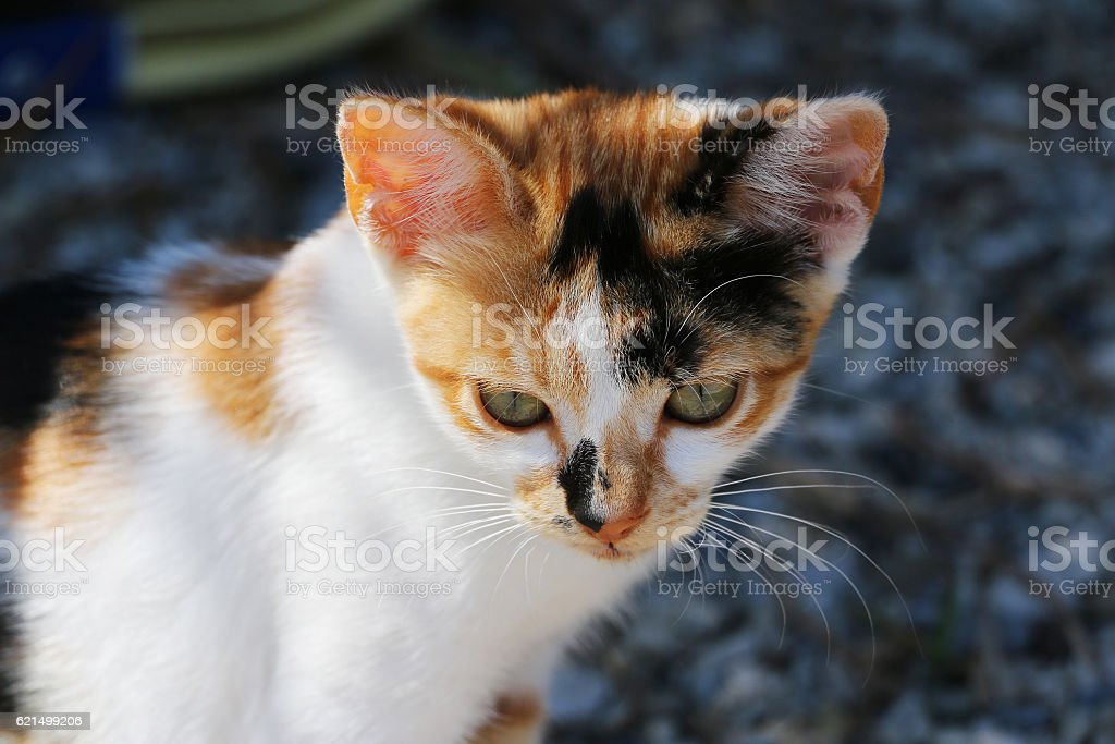 Portrait of small three-color homeless cat sitting outdoor. Attractive eyes, Lizenzfreies stock-foto