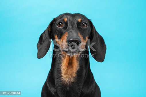 istock Portrait of smart obedient black and tan dachshund looking forward on a blue background, front view, studio shot. Photo for an advertising banner, catalog, magazine, or article about dogs and pets 1217220414