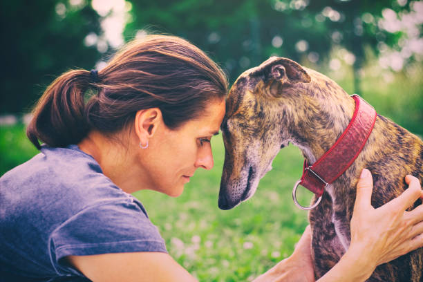 portrait of spanish galgo and woman - dog and owner stock photos and pictures