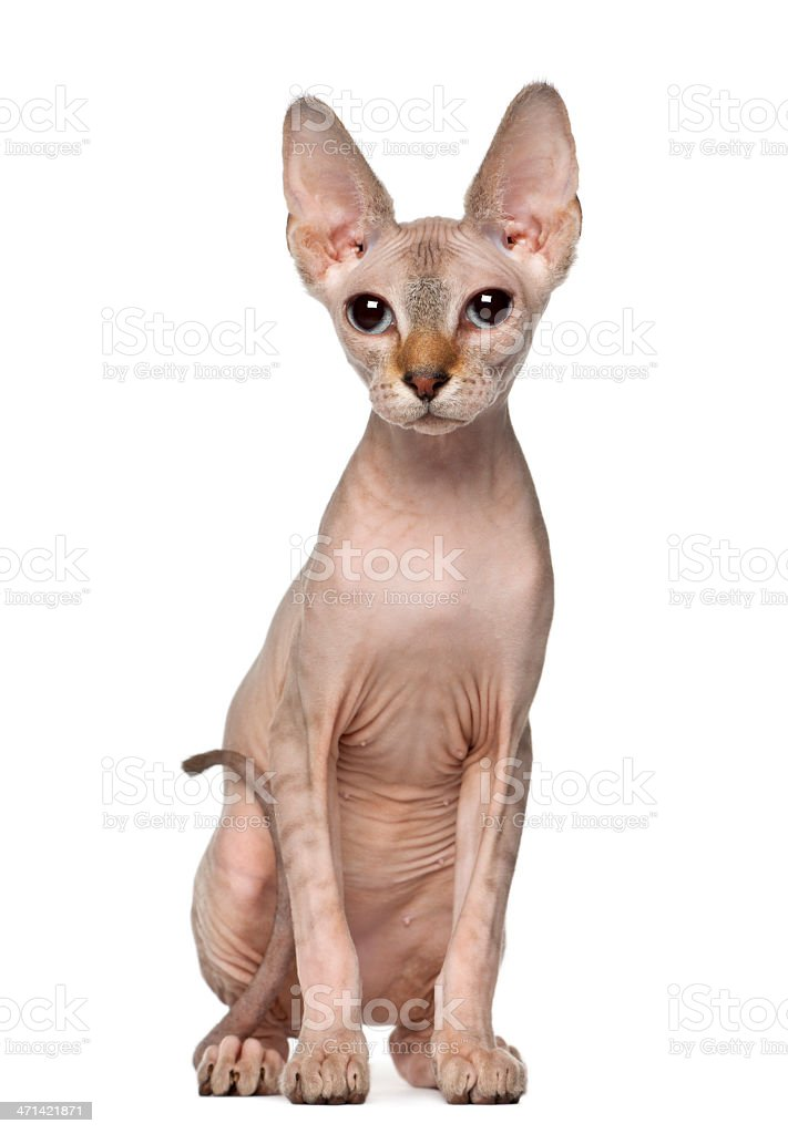 Portrait of Sphynx cat, 6 months old, sitting stock photo
