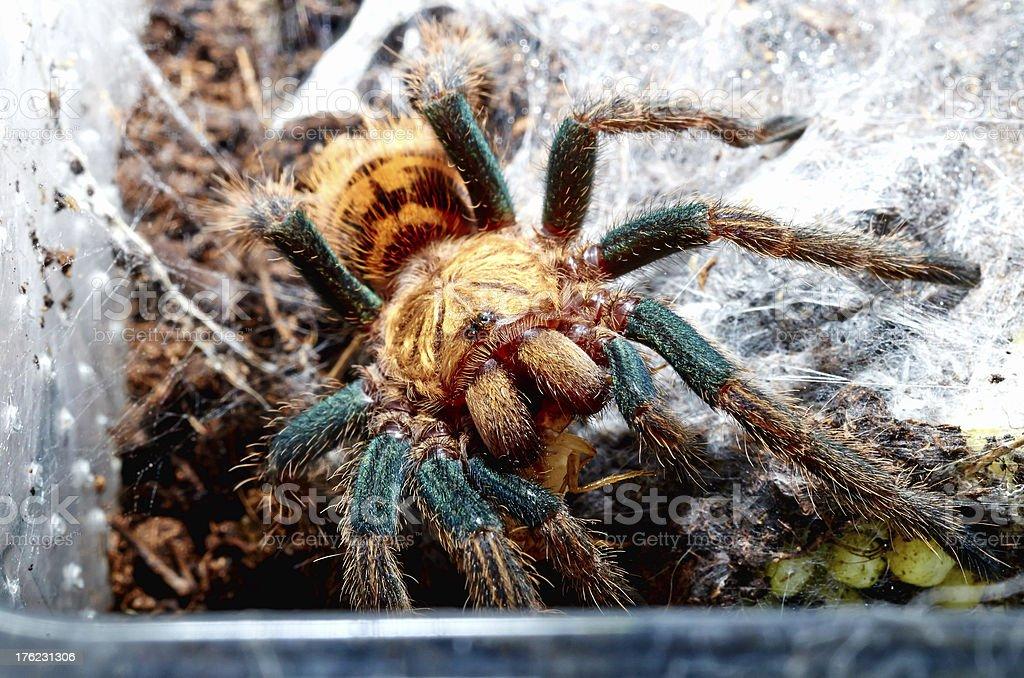Portrait of spider tarantula from Venezuela macro. royalty-free stock photo