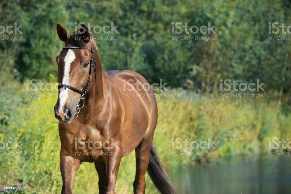portrait of sportive brown horse at lake background. summer stock photo
