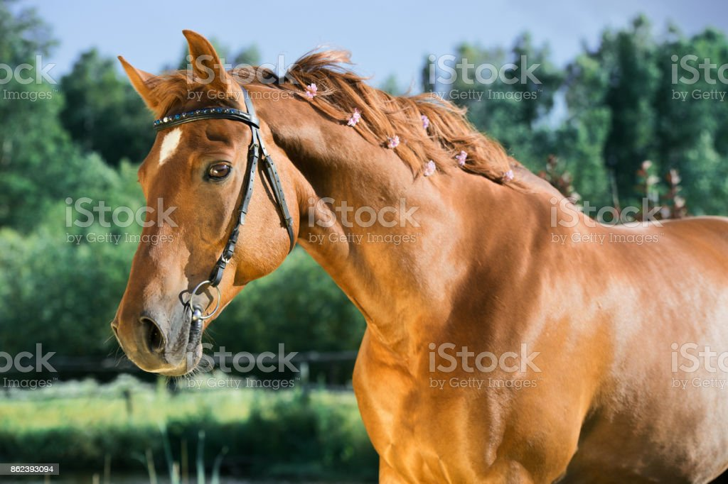 portrait of sportive chestnut  horse at lake background. summer stock photo