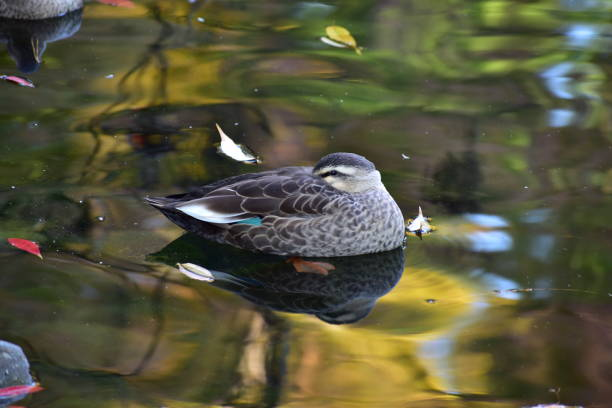 Portrait of spot-billed duck stock photo
