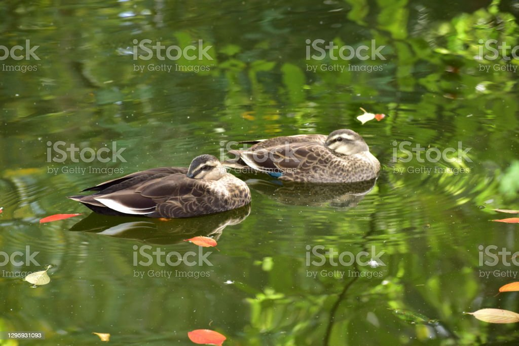 Portrait of spot-billed duck Not trimming Animal Stock Photo