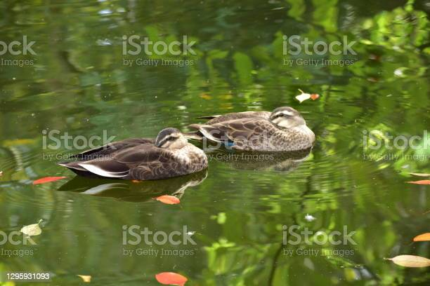 Portrait Of Spotbilled Duck Stock Photo - Download Image Now