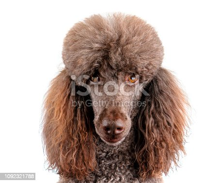 poodle head shot isolated on white