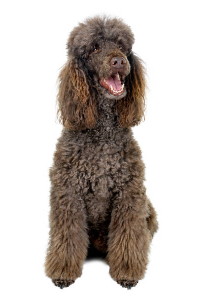 Portrait of standard poodle isolated on white background picture id1092321794?b=1&k=6&m=1092321794&s=612x612&w=0&h=jlrplvw8ednh2vs 6luux1hstodhlcj6vjg8cwm5kia=