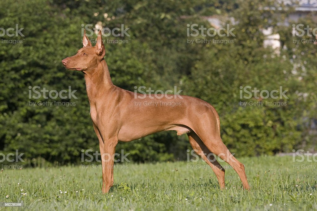 Portrait of standing Pharaoh Hound dog royalty-free stock photo