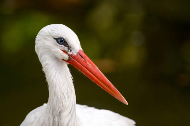 portrait of stork at pond - bocian zdjęcia i obrazy z banku zdjęć