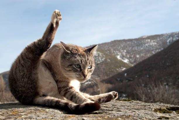 Portrait of stray cat in rare posture picture id1027105642?b=1&k=6&m=1027105642&s=612x612&w=0&h=dvl2w9t8itdqylqnfzqwoebe uikf6uqwqdekx5lnx8=