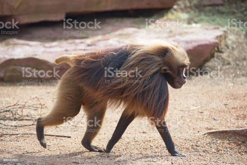 Portrait of strong alpha male master of African baboon stock photo