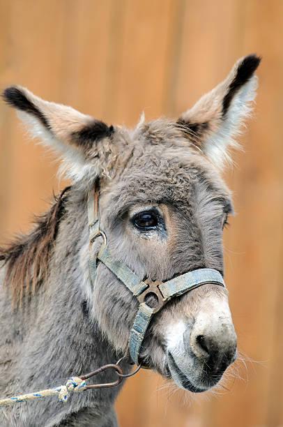 Portrait of stupid donkey – Foto