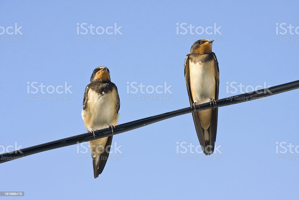 Portrait of swallows royalty-free stock photo