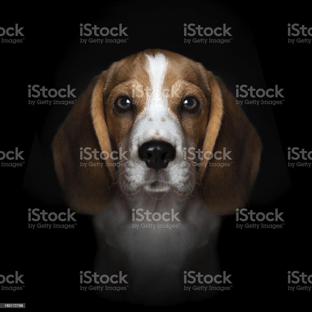 Portrait of sweet beagle puppy isolated on black background stock photo
