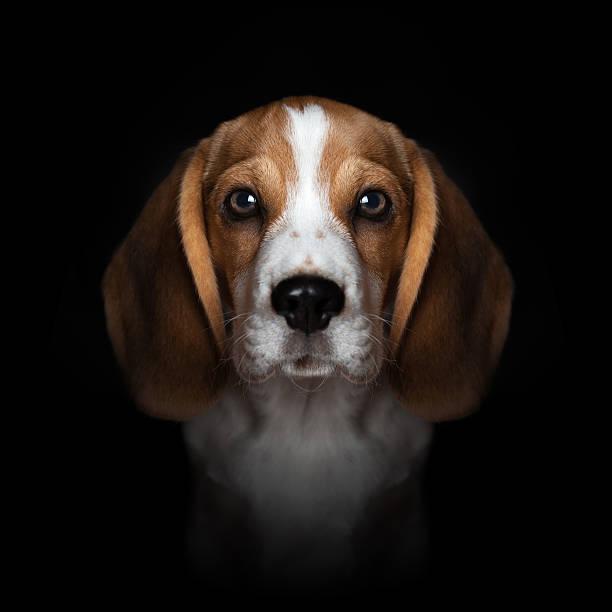 Porträt der süße beagle-Welpe, isoliert auf schwarzem Hintergrund – Foto