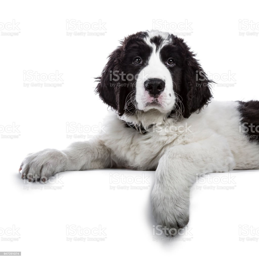 Portrait of sweet black and white Landseer pup / dog laying down with paws over edge isolated on white background looking into lens stock photo