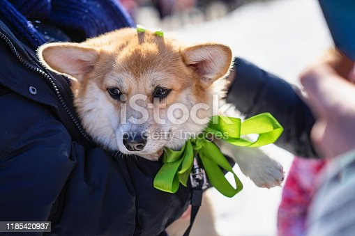 Portrait of sweet, pretty welsh corgi with a green bow, dog in the hands of the owner, saint patrick day holiday. St.Patrick s Day