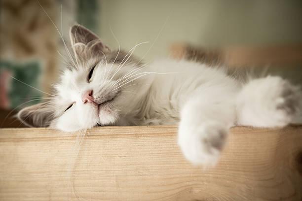 Portrait of sweet sleep white cat stock photo