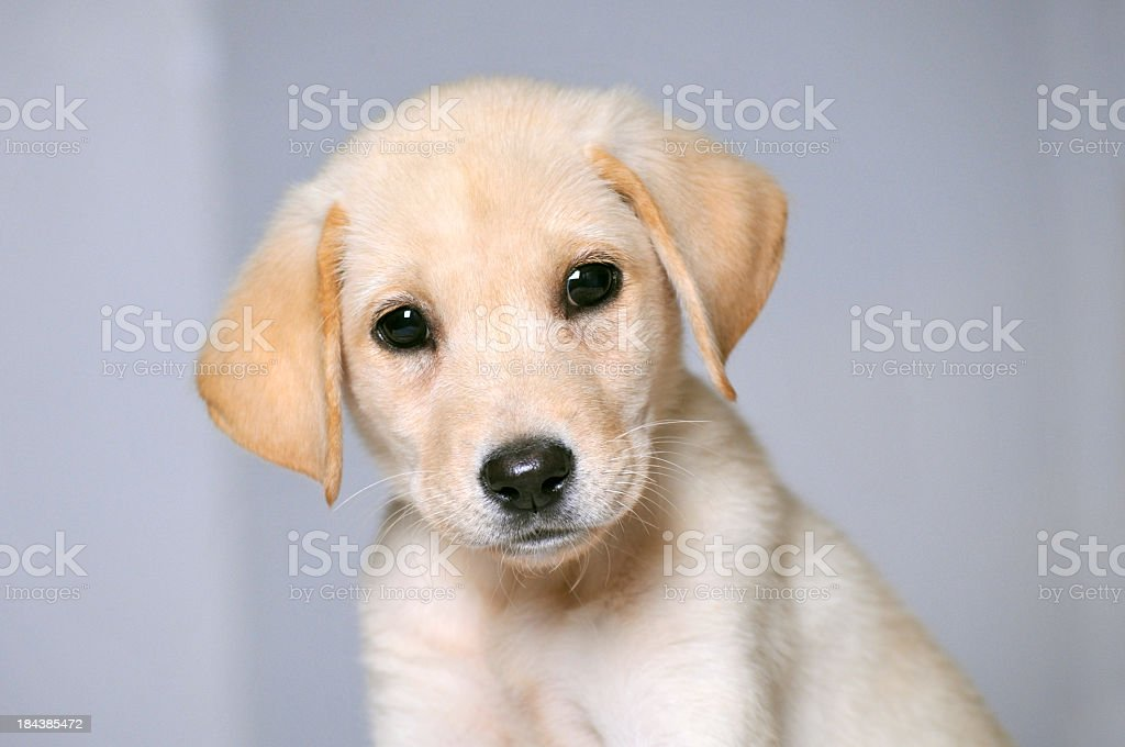 Portrait Of Sweet Young Labrador Puppy With Grey Background Stock Photo Download Image Now Istock