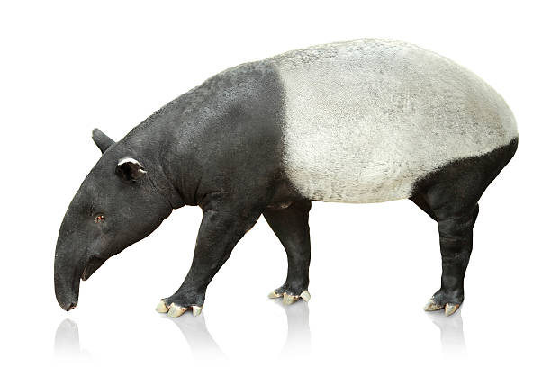 Portrait of tapir on white background stock photo