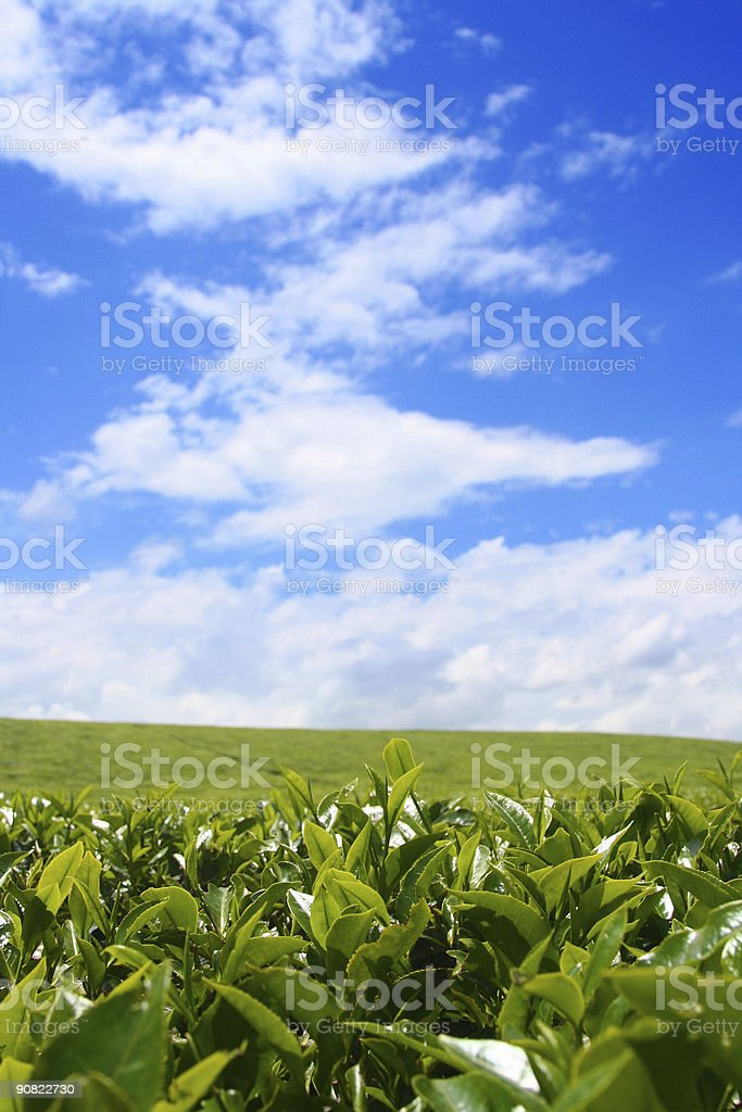 Portrait of tea field and cloudy, blue sky royalty-free stock photo