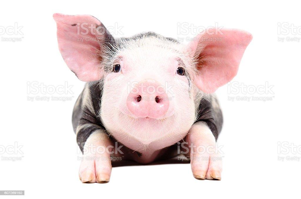 Portrait of the adorable little pig stock photo