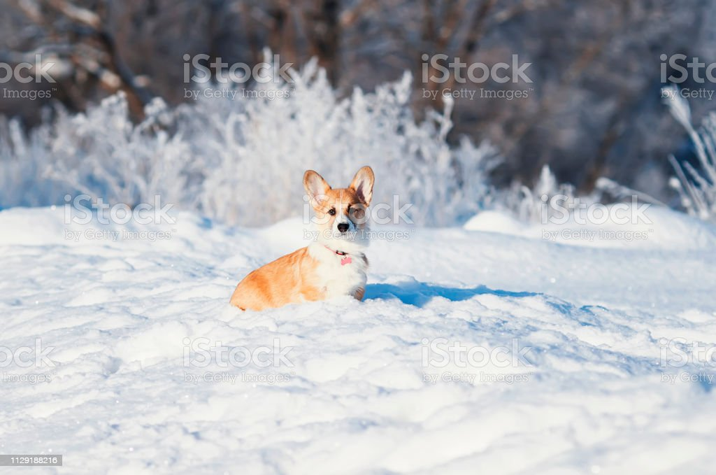 a portrait of the animal little red Corgi puppy walks in the Sunny...