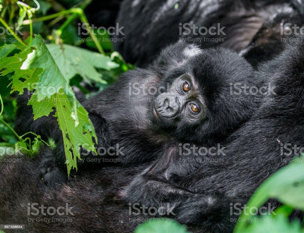 Portrait of the baby mountain gorilla. Uganda. Bwindi Impenetrable Forest National Park. royalty-free stock photo