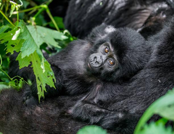 Portrait of the baby mountain gorilla. Uganda. Bwindi Impenetrable Forest National Park. stock photo