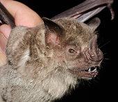 istock Portrait of the bat Fringed Fruit-eating Bat 1212608467