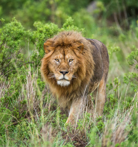 Portrait of the big male lion in the grass. stock photo