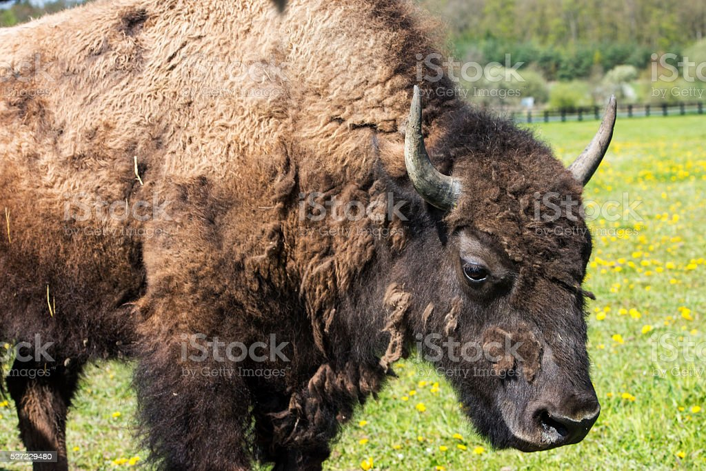 Portrait of the bison stock photo