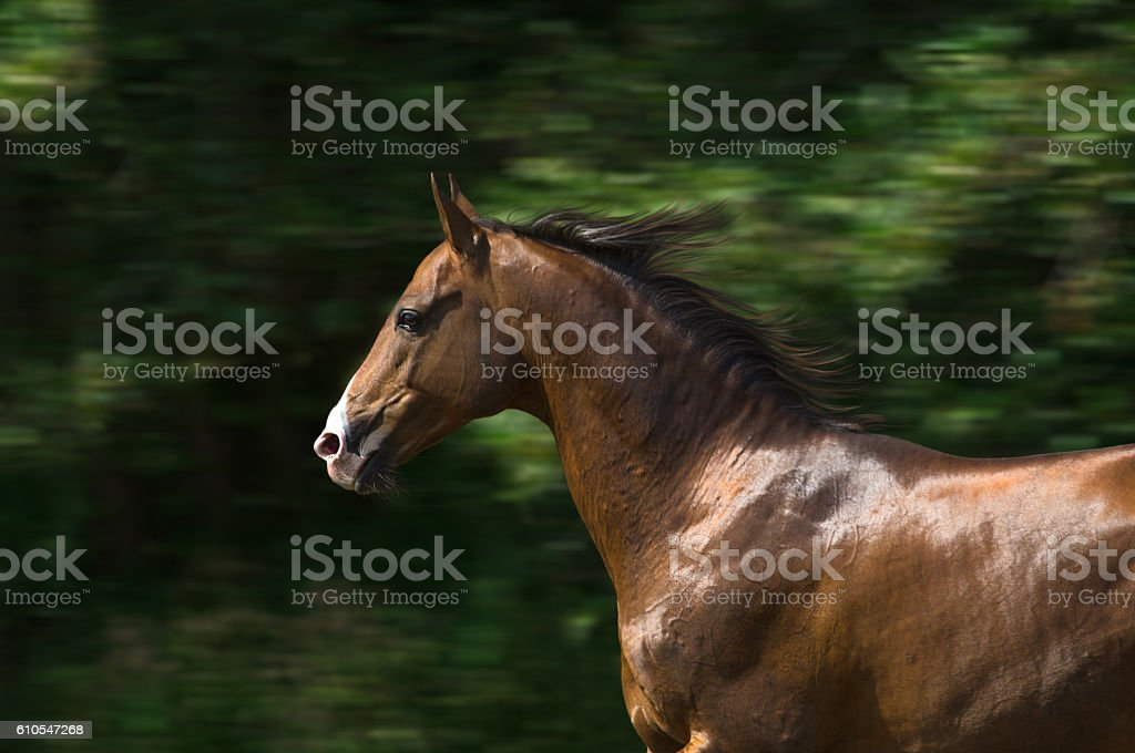 Portrait of the brown Akhal-Teke horse stock photo