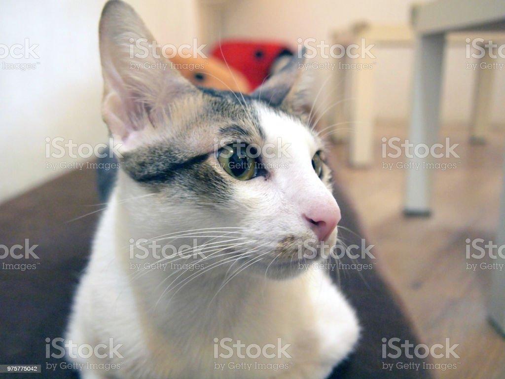 Porträt der Katze - Lizenzfrei Behaart Stock-Foto