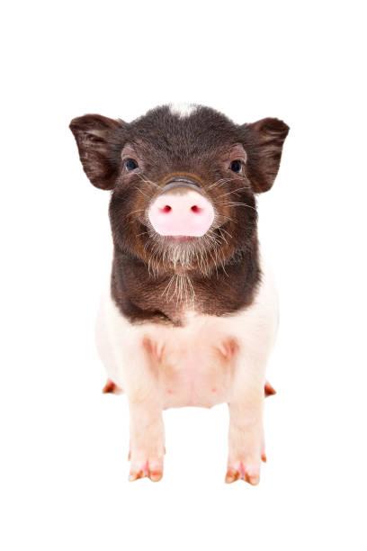 portrait of the charming little pig - scrofa foto e immagini stock