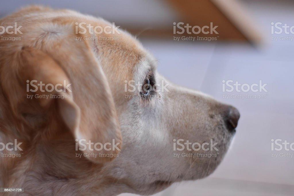 Portrait of the cream labrador retriever dog royalty-free stock photo