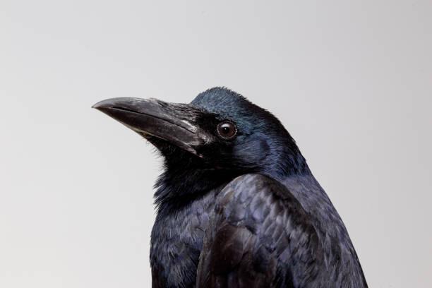 porträt der krähe extrem detailliert. - saatkrähe stock-fotos und bilder