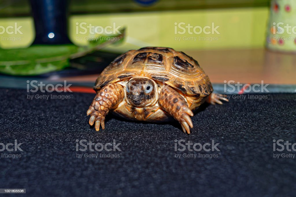 Retrato de la Cub de Asia Central de la tortuga - foto de stock