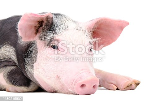 533229488 istock photo Portrait of the cute pig 1180215532
