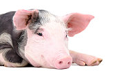 istock Portrait of the cute pig 1180215532