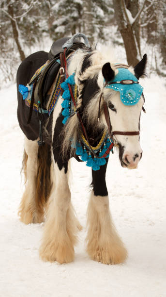 Portrait of the decorated harnessed white horse in bridle. Winter stock photo