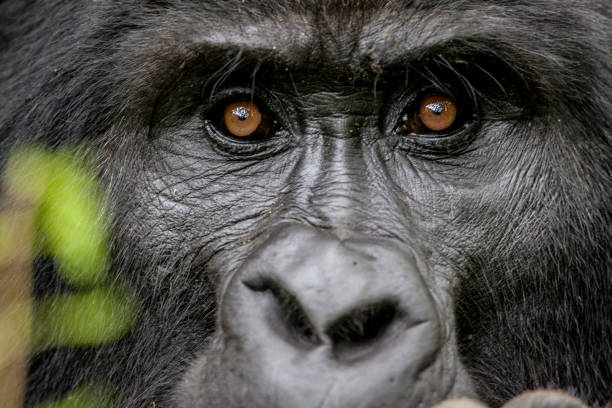 Portrait of the Endangered Silverback Mountain Gorillas The Silverback Mountain Gorillas are an endangered species of primate found in Uganda, Rwanda and Congo. There are believed to be only 400 remaining in the wild. gorilla stock pictures, royalty-free photos & images