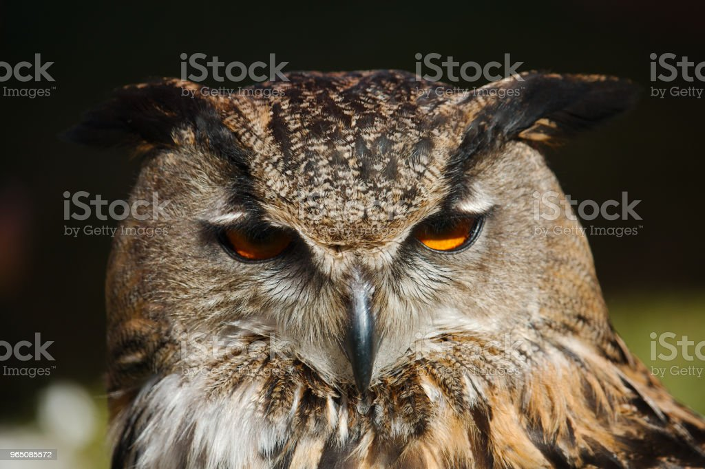 Portrait of the European eagle-owl zbiór zdjęć royalty-free