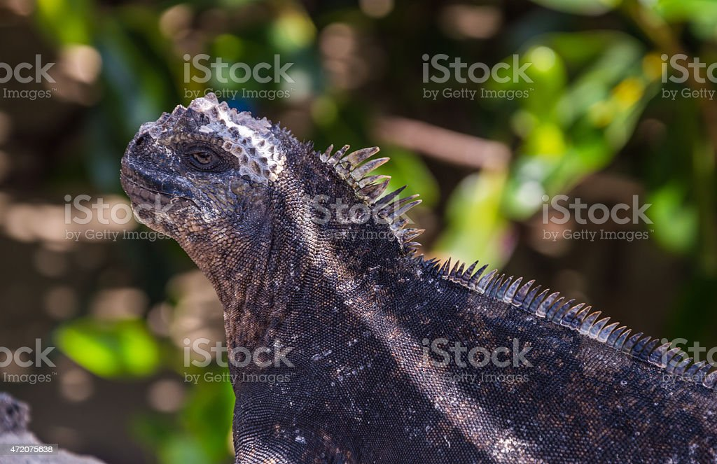 Portrait of  the famous lizard  from Galapagos Islands stock photo