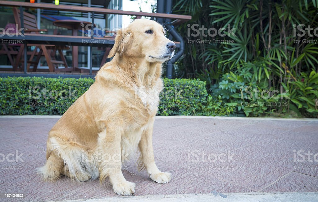 Portrait of the golden retriever royalty-free stock photo