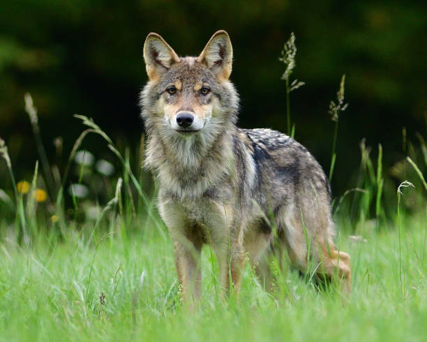 Portrait of the head of a wolf on a green meadow stock photo